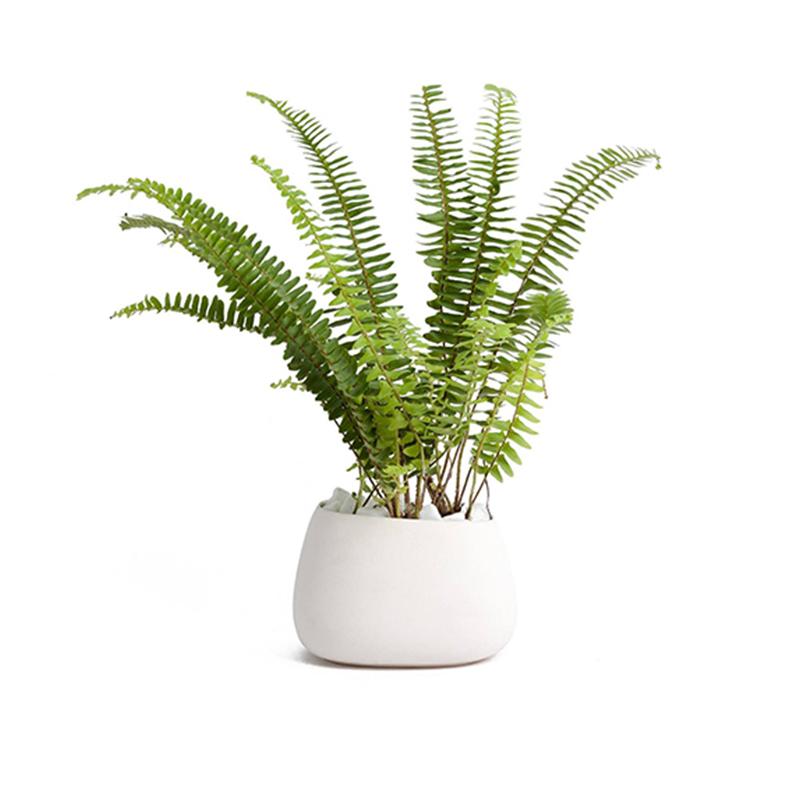 European Pan Palm